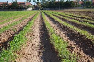 "Freeman's cornfield is an ""Urban Farm"" located in Mesa, Arizona"